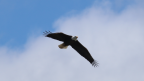 Bald Eagle - Tule Lake Wildlife Refuge